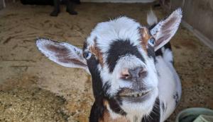 Cypress Grove Homestead Nigerian Dwarf Goat
