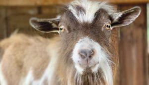 I Love My Goat