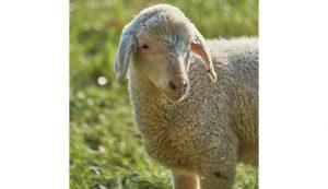 lamb sheep first-aid first aid kit