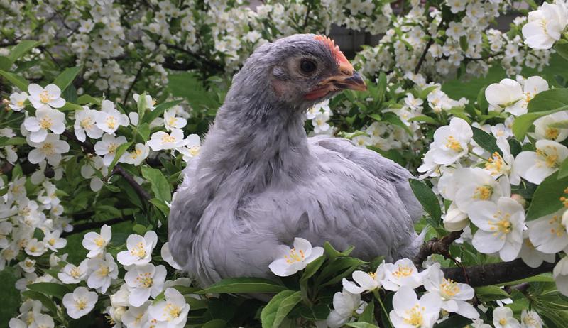 chicken hen photo