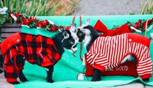 goat yoga Sugar Sweet Farm