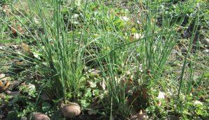 wild garlic onion field