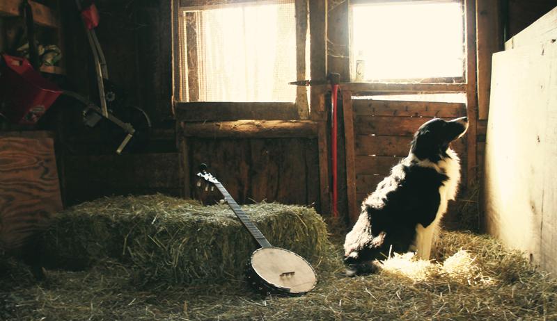 Border Collie sheep sheepdog