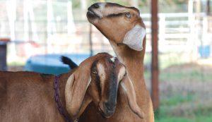 nubian oberhasli goat goats