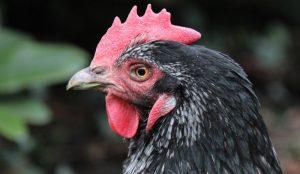 chicken breeds backyard poultry