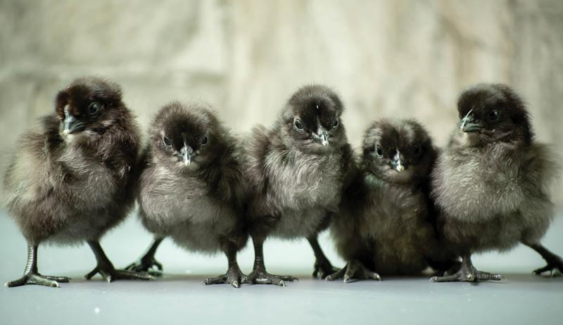 Svart Hona chickens chicks