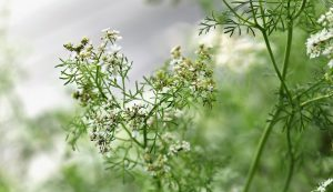 cilantro coriander