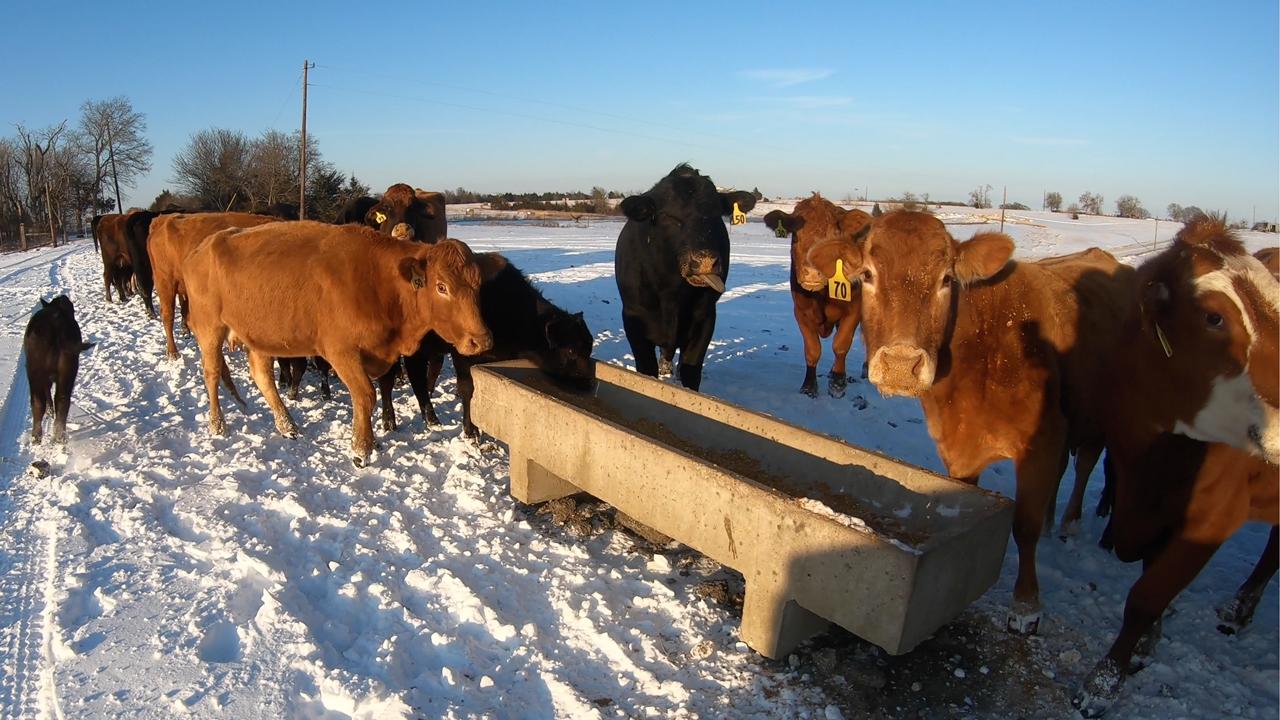 cold weather livestock