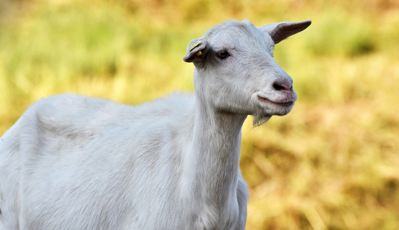 goats nutritional needs lactating kidding