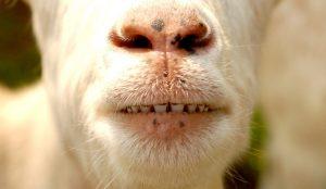 goat goats teeth dental