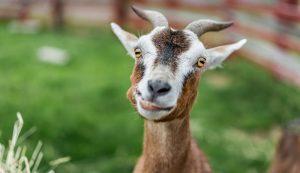 livestock animals farm medications medication