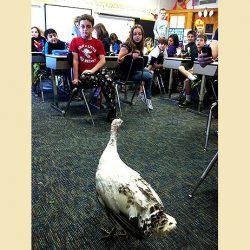 chicken classroom schools
