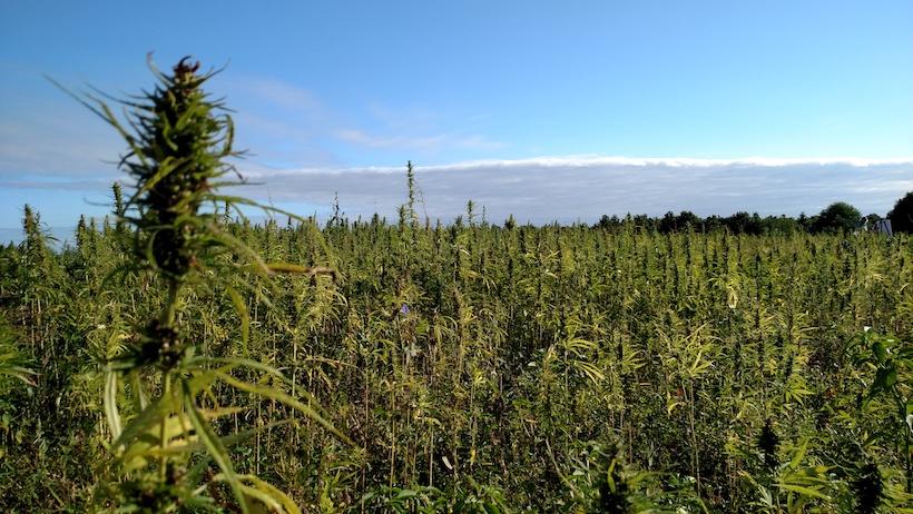 hemp seeds seed