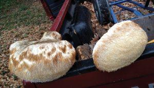 lions mane mushrooms forage foraging