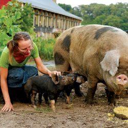 pigs farm heritage breeds