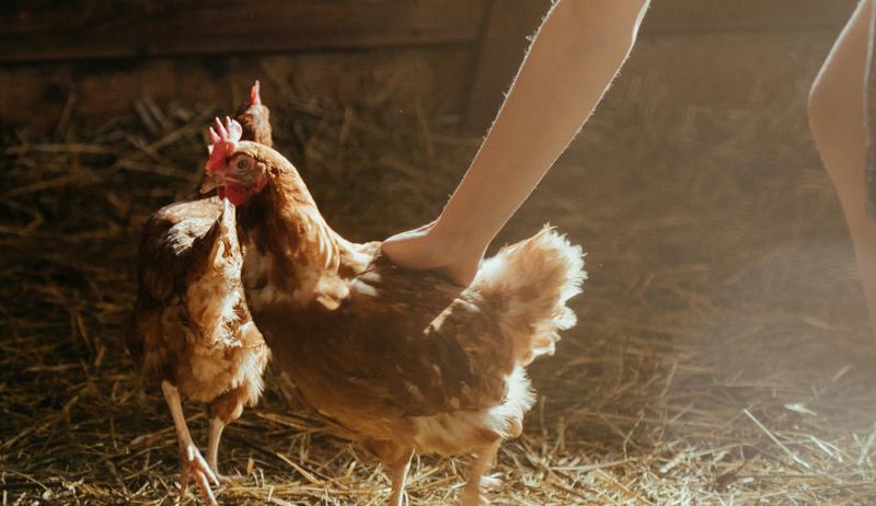 friends chickens