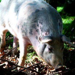 pig pigs
