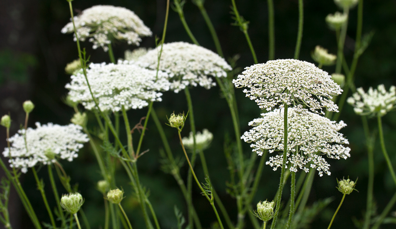 Queen Anne's lace wildflowers