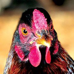 chicken photo livestock photos