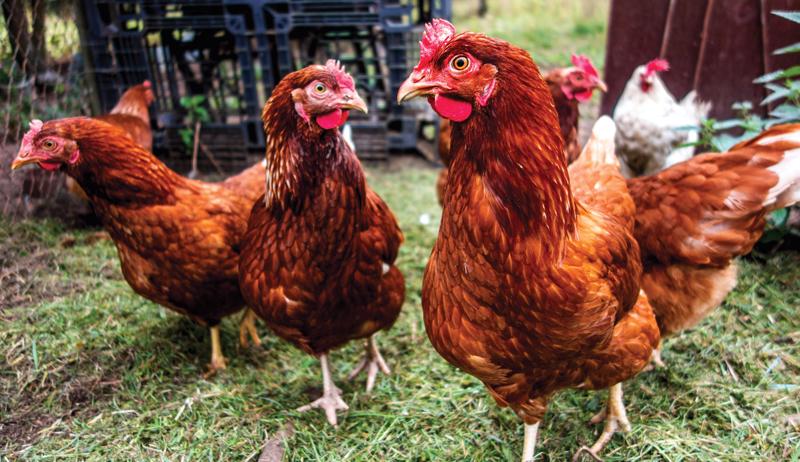 chicken facts chickens