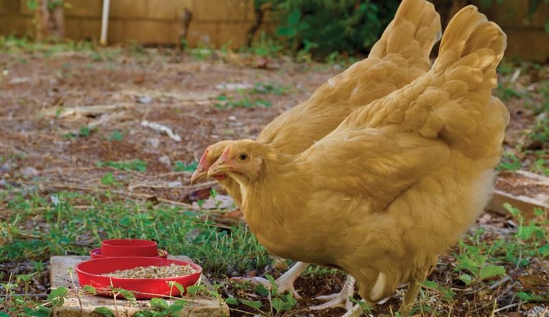 feed feeding chickens hens