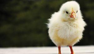 chicken chickens coronavirus