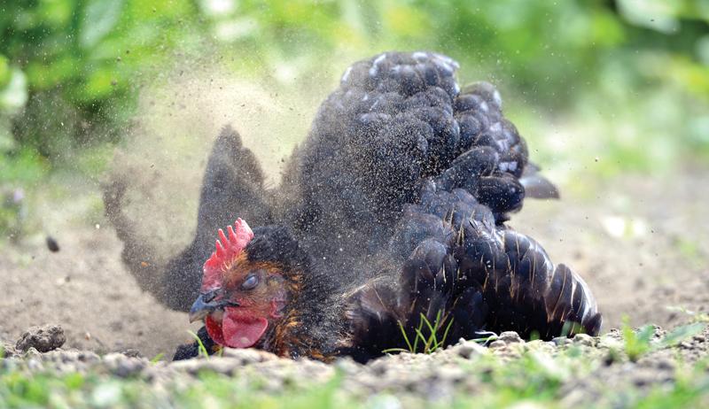 chicken ecoparasite dust bath